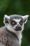 Portrait of a Lemur at closeup Royalty Free Stock Photos