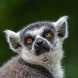 Portrait of a Lemur at closeup Stock Photos