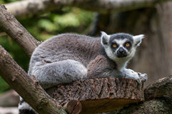 Portrait of a Lemur at closeup Royalty Free Stock Images