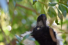 Portrait of a lemur. Royalty Free Stock Photos