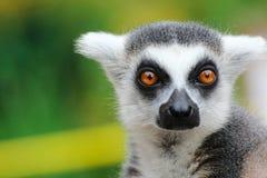 Portrait lemur - monkey from madagaskar Royalty Free Stock Photo