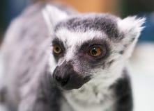 Portrait of a lemur. Stock Image