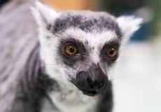 Portrait of a lemur. Stock Photography