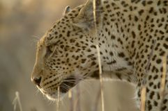 Portrait of a leopard Royalty Free Stock Image