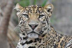 Portrait of Leopard. (Panthera pardus) view of front Stock Images