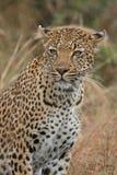 Portrait of leopard stock images