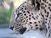 Portrait of a leopard Royalty Free Stock Photography