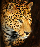 Portrait of leopard. In its natural habitat Royalty Free Stock Photo