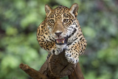 Portrait of Leopard Stock Photos