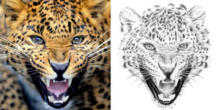 01ef3f71e3b Portrait of leopard before and after drawn by hand in pencil stock  illustration