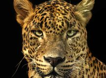 Portrait leopard with extreme close-up. royalty free stock photo
