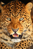 Portrait of leopard Royalty Free Stock Photos
