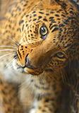 Portrait of leopard Stock Photography