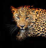 Portrait of leopard. In its natural habitat Stock Photo