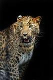 Portrait of leopard Stock Photos