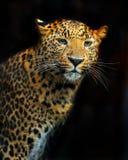 Portrait of leopard Stock Image