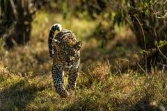 Portrait of leopard in Kenya royalty free stock image