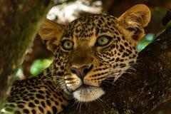 Portrait of leopard in Kenya royalty free stock photos