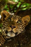 Portrait of leopard in Kenya royalty free stock photography