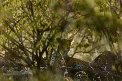 Portrait of leopard in Kenya stock photos