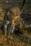 Portrait of leopard in Kenya royalty free stock images