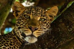 Portrait of leopard in Kenya stock photography