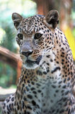 Portrait of Leopard. Is looking away to see something in the distance Stock Photography
