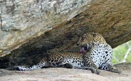 A portrait of a leopard lying in a rock while licking self. The Female of Sri Lankan leopard Panthera pardus kotiya. A portrait of a leopard lying in a rock Royalty Free Stock Photo