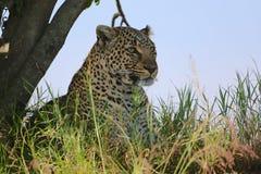 Portrait of a leopard at the masai mara Stock Photo