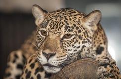 Portrait of leopard Stock Photo