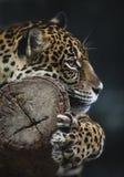 Portrait of leopard Stock Photography