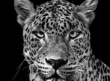 Portrait leopard Panthera pardus kotiya. Black and white Ceylon leopard Stock Photography