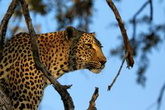 Portrait of a leopard Panthera pardus, Kruger National Park, South Africa Stock Photos