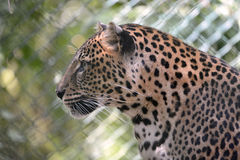 Portrait of Leopard Royalty Free Stock Images