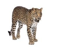 Portrait of leopard, Panthera pardus, standing Royalty Free Stock Photography
