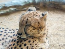 Portrait of a leopard preparing to sleep,. Close up portrait of a leopard preparing to sleep Royalty Free Stock Image