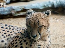 Portrait of a leopard preparing to sleep,. Close up portrait of a leopard preparing to sleep Royalty Free Stock Photo