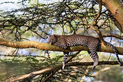 Portrait of a leopard resting on a tree. Nakuru, Africa Stock Photos