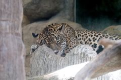 Portrait of a leopard sleep at zoo. In Thailand royalty free stock photos