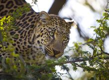 Portrait of leopard Royalty Free Stock Photography