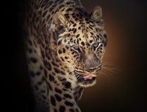 Portrait of Leopard Royalty Free Stock Photos