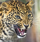 Portrait of a Leopard Royalty Free Stock Photo