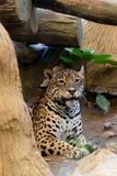 Portrait of a leopard at zoo. In Thailand stock photo