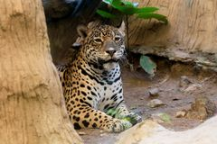 Portrait of a leopard at zoo. In Thailand stock image