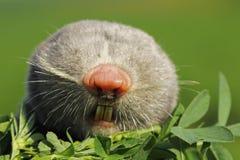 Portrait of lesser mole rat. & x28; Spalax leucodon & x29 stock image