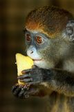 Portrait of Lesser Spot-Nosed Monkey Royalty Free Stock Photos