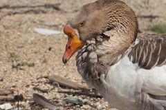 Lesser white-fronted goose royalty free stock image