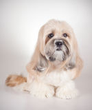 Portrait of lhasa apso dog Stock Images
