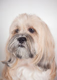 Portrait of lhasa apso dog Royalty Free Stock Photography