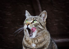 Portrait of licking cat with green eyes outdoors Royalty Free Stock Photography